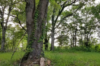 An oak tree in the woods.